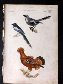 Richardson 1862 HC Bird Print. Magpie, Great Cinereous Shrike, Orange Rock Cock